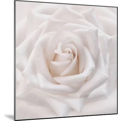 Soft White Rose-Cora Niele-Mounted Photographic Print