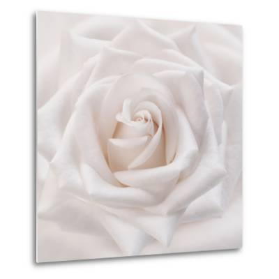 Soft White Rose-Cora Niele-Metal Print