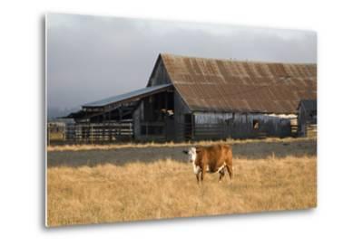 Cow Portrait-Lance Kuehne-Metal Print