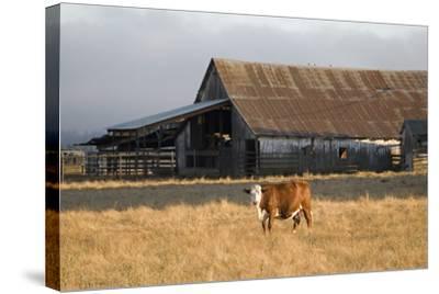Cow Portrait-Lance Kuehne-Stretched Canvas Print