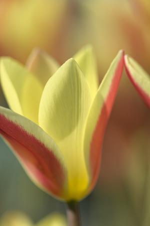Tulip Tinka-Cora Niele-Framed Photographic Print