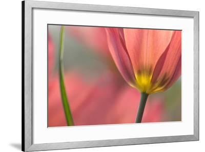 Tulipa Planifolia-Cora Niele-Framed Photographic Print