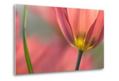 Tulipa Planifolia-Cora Niele-Metal Print