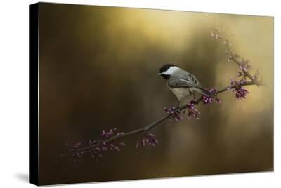 Chickadee in the Golden Light-Jai Johnson-Stretched Canvas Print