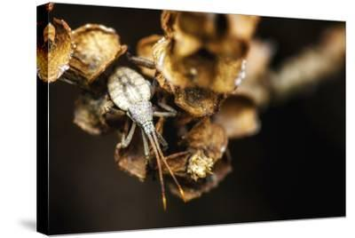 Shield Bug on Brown Leaves-Pixie Pics-Stretched Canvas Print
