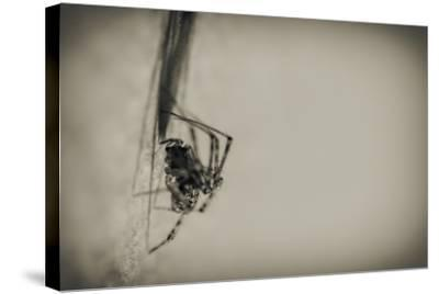 Spider 1-Pixie Pics-Stretched Canvas Print