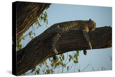 A Leopard, Panthera Pardus, Sleeping on a Tree Branch in the Afternoon Sun-Beverly Joubert-Stretched Canvas Print