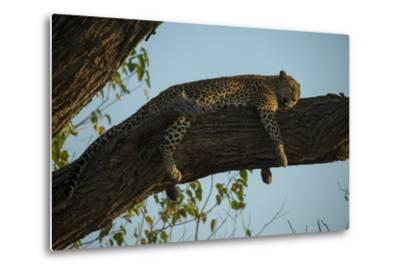 A Leopard, Panthera Pardus, Sleeping on a Tree Branch in the Afternoon Sun-Beverly Joubert-Metal Print