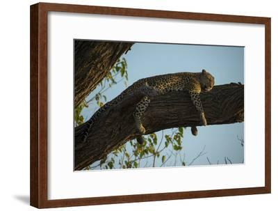 A Leopard, Panthera Pardus, Sleeping on a Tree Branch in the Afternoon Sun-Beverly Joubert-Framed Photographic Print