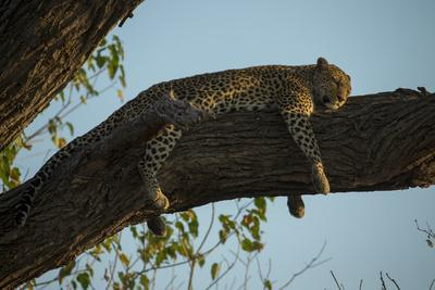A Leopard, Panthera Pardus, Sleeping on a Tree Branch in the Afternoon Sun-Beverly Joubert-Photographic Print