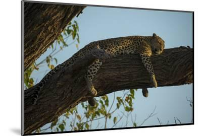 A Leopard, Panthera Pardus, Sleeping on a Tree Branch in the Afternoon Sun-Beverly Joubert-Mounted Photographic Print