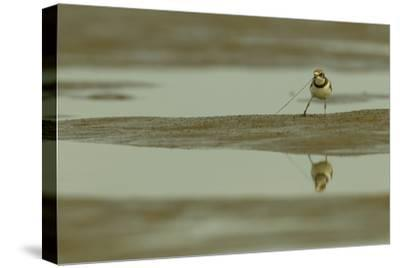 A Semipalmated Plover Forages at Low Tide in the Mudflats of the Orinoco River Delta-Timothy Laman-Stretched Canvas Print