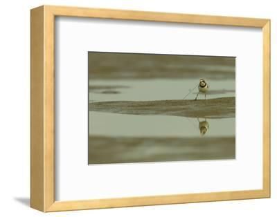 A Semipalmated Plover Forages at Low Tide in the Mudflats of the Orinoco River Delta-Timothy Laman-Framed Photographic Print
