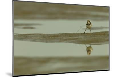 A Semipalmated Plover Forages at Low Tide in the Mudflats of the Orinoco River Delta-Timothy Laman-Mounted Photographic Print
