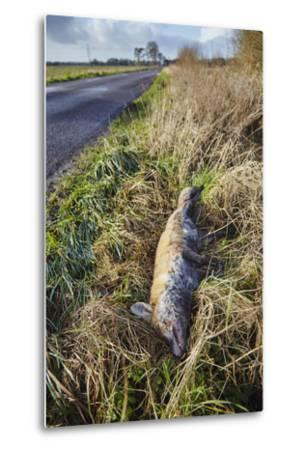 A Dead Red Fox, Vulpes Vulpes, on a Roadside in Countryside on the Somerset Levels-Nigel Hicks-Metal Print