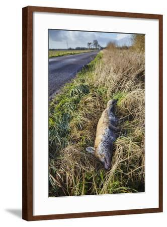 A Dead Red Fox, Vulpes Vulpes, on a Roadside in Countryside on the Somerset Levels-Nigel Hicks-Framed Photographic Print