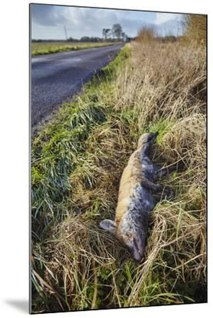 A Dead Red Fox, Vulpes Vulpes, on a Roadside in Countryside on the Somerset Levels-Nigel Hicks-Mounted Photographic Print