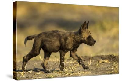 An African Wild Dog Pup, Lycaon Pictus-Beverly Joubert-Stretched Canvas Print