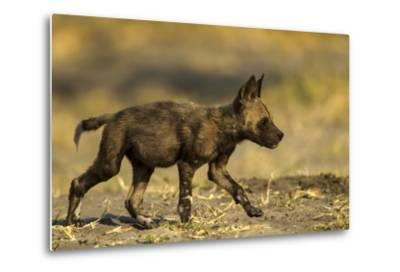 An African Wild Dog Pup, Lycaon Pictus-Beverly Joubert-Metal Print