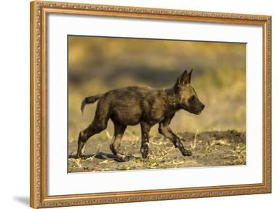An African Wild Dog Pup, Lycaon Pictus-Beverly Joubert-Framed Photographic Print