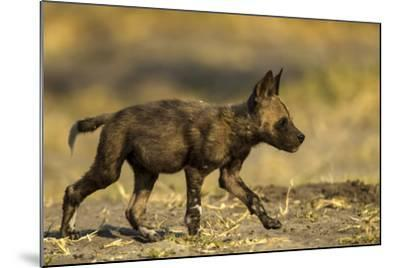 An African Wild Dog Pup, Lycaon Pictus-Beverly Joubert-Mounted Photographic Print
