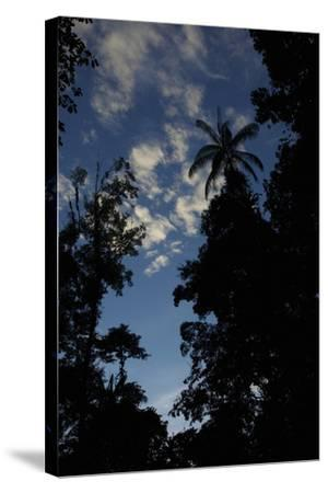 Rainforest Silhouette Against Early Morning Sky-Timothy Laman-Stretched Canvas Print