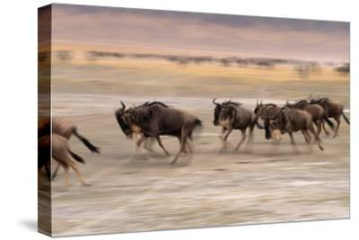 A Herd of Wildebeest Stampede across the Savanna-Mark Cosslett-Stretched Canvas Print