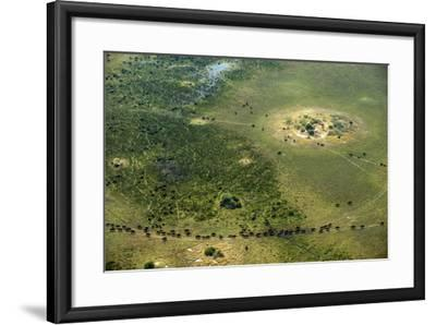 A Herd of African Buffalo, Syncerus Caffer, Walk on a Path-Beverly Joubert-Framed Photographic Print