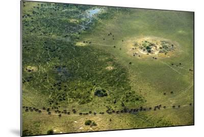 A Herd of African Buffalo, Syncerus Caffer, Walk on a Path-Beverly Joubert-Mounted Photographic Print