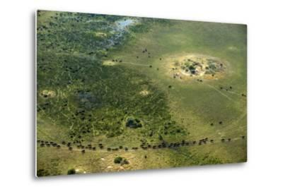 A Herd of African Buffalo, Syncerus Caffer, Walk on a Path-Beverly Joubert-Metal Print