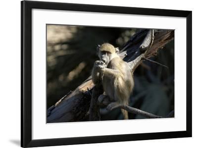 Chacma Baboon, Kwetsani Camp, Botswana-Anne Keiser-Framed Photographic Print
