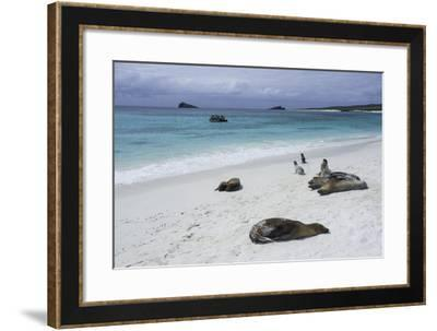 Galapagos Sea Lions on the Beach-Jad Davenport-Framed Photographic Print