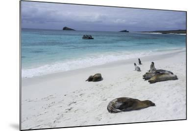 Galapagos Sea Lions on the Beach-Jad Davenport-Mounted Photographic Print