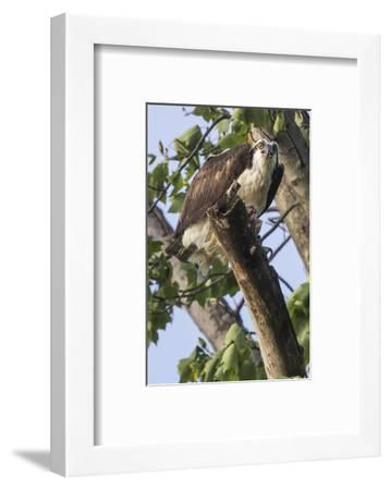An Osprey, Pandion Haliaetus in a Tree with a Fish Along the Occoquan River-Kent Kobersteen-Framed Photographic Print