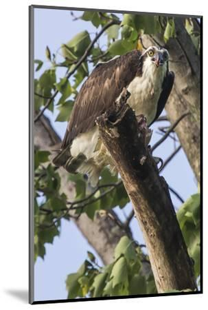 An Osprey, Pandion Haliaetus in a Tree with a Fish Along the Occoquan River-Kent Kobersteen-Mounted Photographic Print
