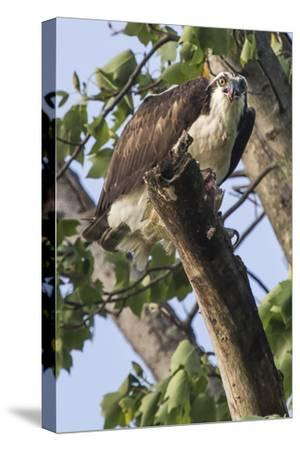 An Osprey, Pandion Haliaetus in a Tree with a Fish Along the Occoquan River-Kent Kobersteen-Stretched Canvas Print