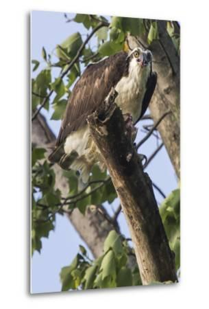 An Osprey, Pandion Haliaetus in a Tree with a Fish Along the Occoquan River-Kent Kobersteen-Metal Print