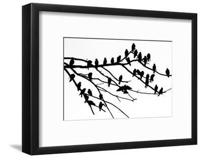 Silhouette of Birds Perched on the Branches of a Dead Tree Above the Occoquan River-Kent Kobersteen-Framed Photographic Print