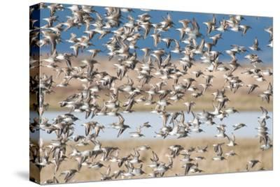 A Large Flock of Dunlin Birds, Calidris Alpina, in Flight-Nicole Duplaix-Stretched Canvas Print
