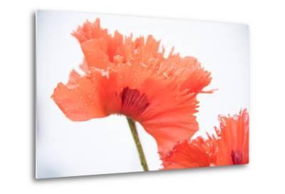 A Poppy Flower-Michael Melford-Metal Print