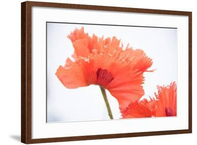 A Poppy Flower-Michael Melford-Framed Photographic Print