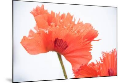 A Poppy Flower-Michael Melford-Mounted Photographic Print