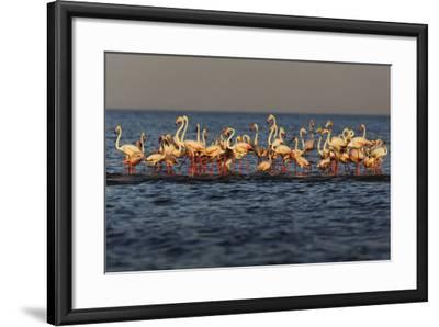Flamingos on Lake Turkana Outside Elyse Springs-Randy Olson-Framed Photographic Print