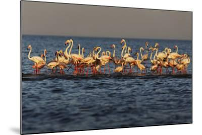 Flamingos on Lake Turkana Outside Elyse Springs-Randy Olson-Mounted Photographic Print