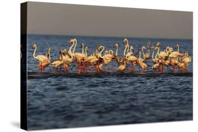 Flamingos on Lake Turkana Outside Elyse Springs-Randy Olson-Stretched Canvas Print