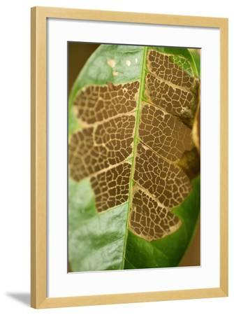 The Vascular Tissue Lattice Visible in a Partially Eaten Leaf on Barro Colorado Island-Jonathan Kingston-Framed Photographic Print