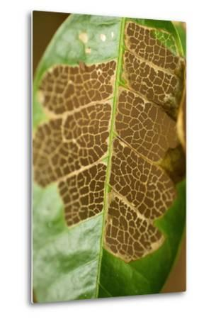 The Vascular Tissue Lattice Visible in a Partially Eaten Leaf on Barro Colorado Island-Jonathan Kingston-Metal Print