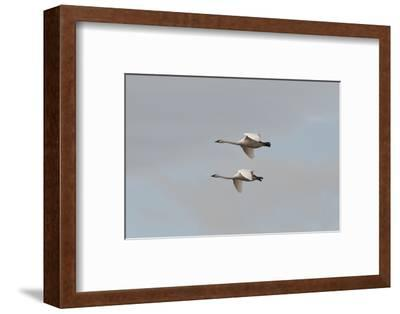 A Pair of Trumpeter Swans, Cygnus Buccinator, in Flight-Nicole Duplaix-Framed Photographic Print