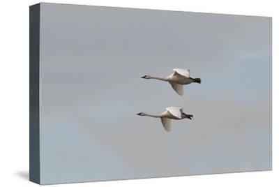 A Pair of Trumpeter Swans, Cygnus Buccinator, in Flight-Nicole Duplaix-Stretched Canvas Print