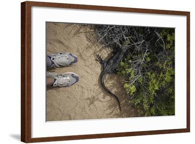 A Tourist Observes a Galapagos Land Iguana on a Trail-Jad Davenport-Framed Photographic Print